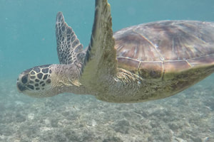 Photo of a honu (sea turtle) swimming. Provided by Polu Lani Surf